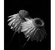 Coneflowers BW Photographic Print