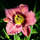 Daylily Series - No. 6 by Carol Clifford