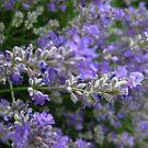 Loving Lavender by MarianBendeth
