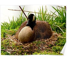Nesting Canada Goose Poster