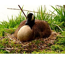 Nesting Canada Goose Photographic Print