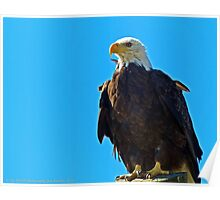 Bald Eagle Looking for dinner Poster
