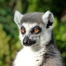 Ring-tailed Lemur Enjoying The Late Afternoon Sun by Margaret Saheed