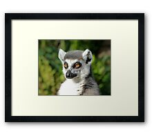 Ring-tailed Lemur Enjoying The Late Afternoon Sun Framed Print