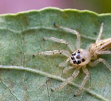 Hentz Longjawed Jumping Spider by Otto Danby II