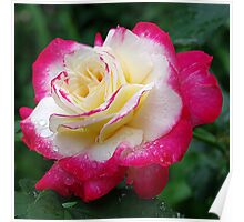 Red and white, Double Delight - Rose Poster