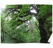 Beautiful trees in Olympic National Park Poster