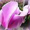 Avatar/Beautiful Cyclamen - Enchanted Flowers*