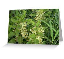 Primrose Milkweed Greeting Card
