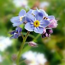 Forget-me-Not by Morag Bates
