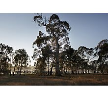 Eucalypts in morning mist, Moora, Victoria Photographic Print