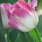 Blushing Tulip by shutterbug2010