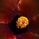 Hibiscus by alan shapiro