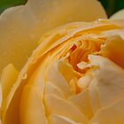 Yellow rose by Morag Anderson