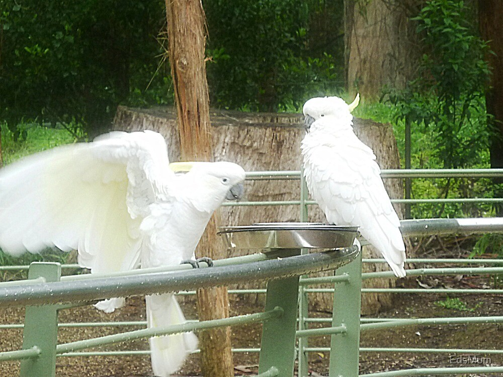 Sulphar Crested Cockatoos - Dandenong Ranges Vic by EdsMum