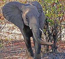 Elephant in mopani, Kruger N.P. South Africa by Margaret  Hyde