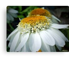 Just One Petal Out Of Place Daisy.... Canvas Print