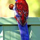 Crimson Rosella by Richard  Windeyer