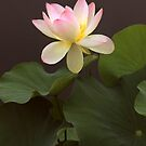 Lotus Unfurled by Jessica Jenney