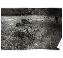 Deer grazing Poster