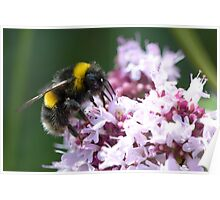 White Tailed Worker Bumble Bee Poster