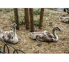 Swanlings Photographic Print