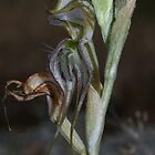 Pterostylis sp aff valida (Robust Greenhood) by Russell Mawson