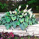 Hostas in the garden by Shulie1