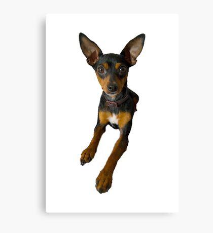 Conchita - a small doberman pincher like species of dog Canvas Print