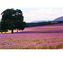 Lavender Farm Photographic Print