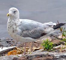 Teen Gull........................ by lynn carter