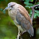 Night Heron by imagetj
