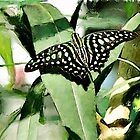 Tailed Jay butterfly watercolour by PhotosByHealy