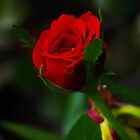 A red Rose by rom01