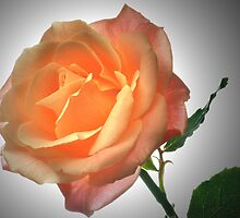 Perfect Rose. by Terence Davis
