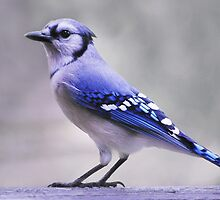 Blue Jay Day by Laurie Minor
