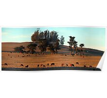 Grazing Cows in the Glow of a Sunset Poster
