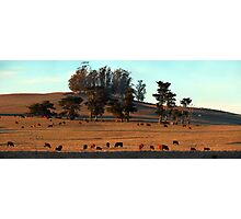 Grazing Cows in the Glow of a Sunset Photographic Print