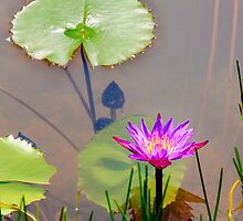 Purple water lily and lotus leaves on water by Stanciuc