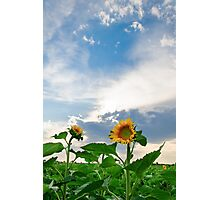 View of field with blooming sunflowers with sunset in background Photographic Print