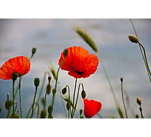 bright red corn poppy flowers in summer Photographic Print