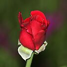 Red Rose Bud by ANNABEL   S. ALENTON