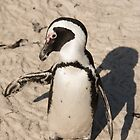 Penguin shadow boxing, South Africa by Erik Schlogl