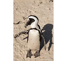 Penguin shadow boxing, South Africa Photographic Print