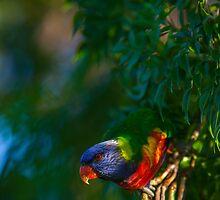 Rainbow Lorikeet (Trichoglossus haematodus) by Gabor Pozsgai