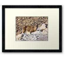 Mountain little goat Framed Print