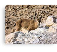 Mountain little goat Canvas Print
