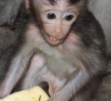 Balinese baby monkey eating Sticker
