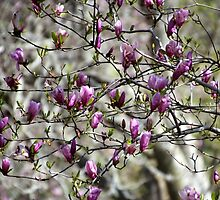 Deciduous Magnolia by Carolyn  Fletcher