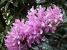 Pretty Rhodi....... Dorset UK by lynn carter